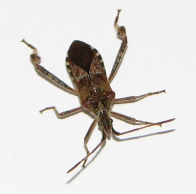 The Hawk Owl's Nest: Leaf-footed Bug ID Needed