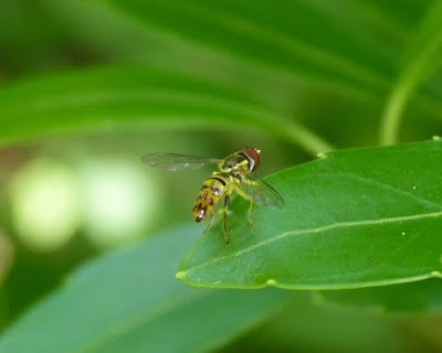 Dendroica: Flies in the Backyard, part 2
