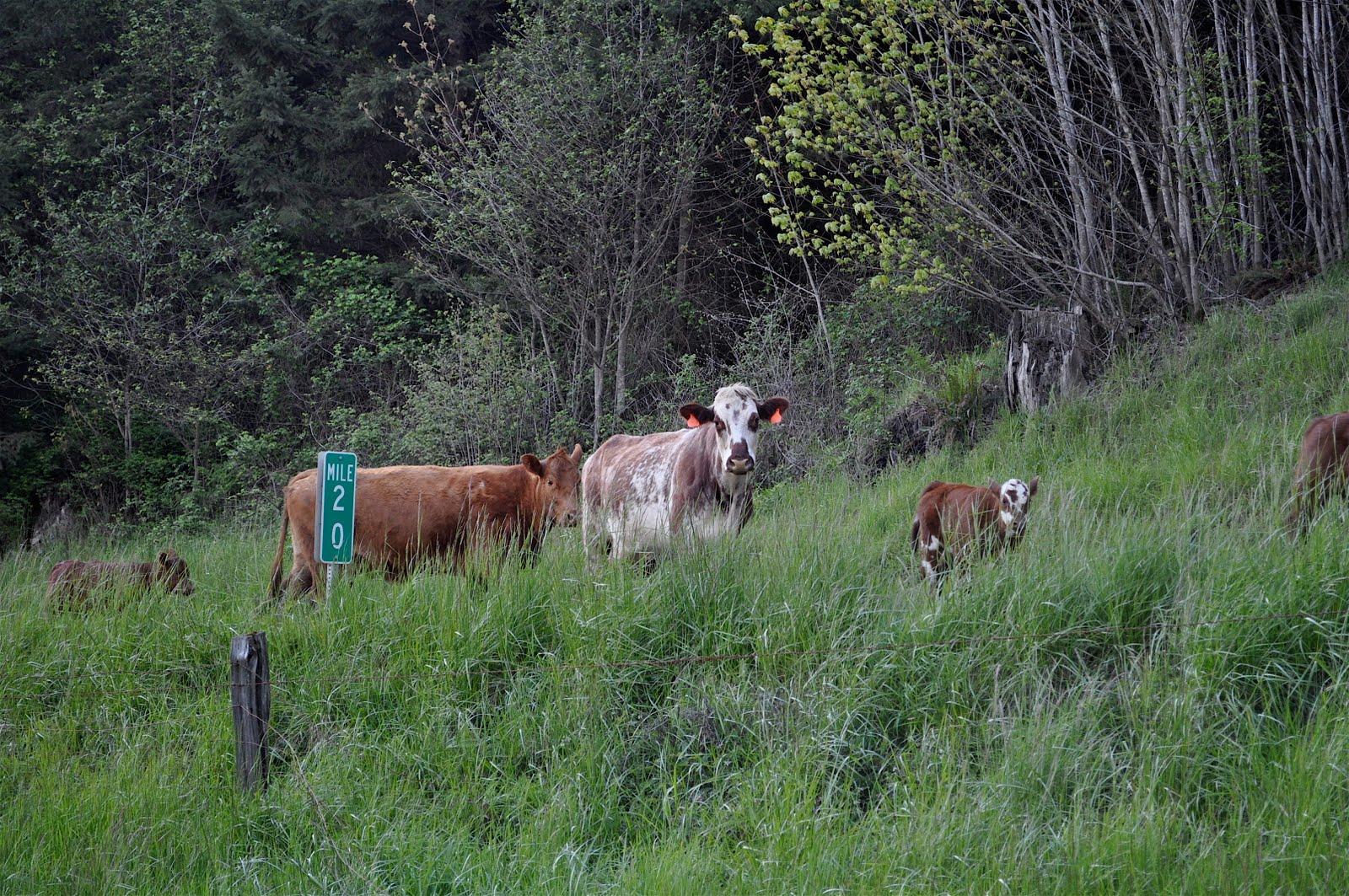 E Cattle Drive LuAnn Kessi: Suzy Quil...