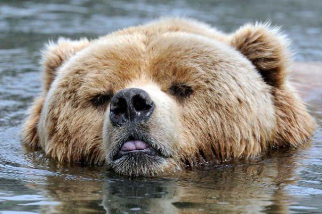 animals swimming swim wonderful germany bear bears