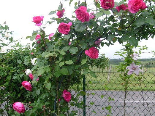 Célèbre Ma Planète Jardin: Rosier Etoile de Hollande UJ94