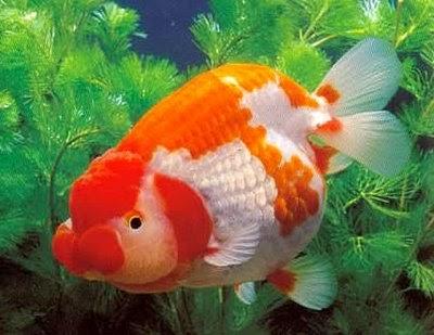 exotic freshwater aquarium fish - koki, louhan and arowana ...