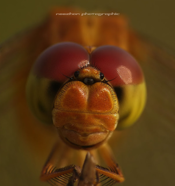 red yellow eyes Dragonfly macro