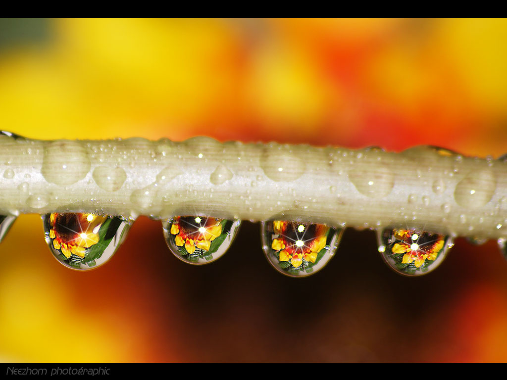 sunflower water drops picture