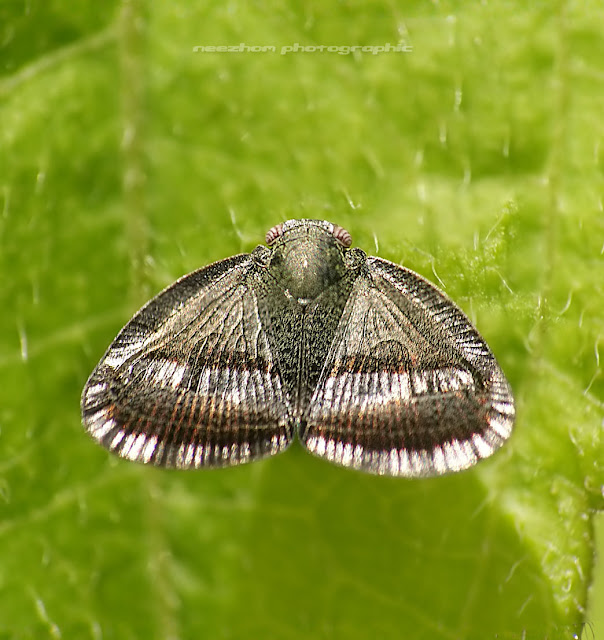 Brown silver Planthopper