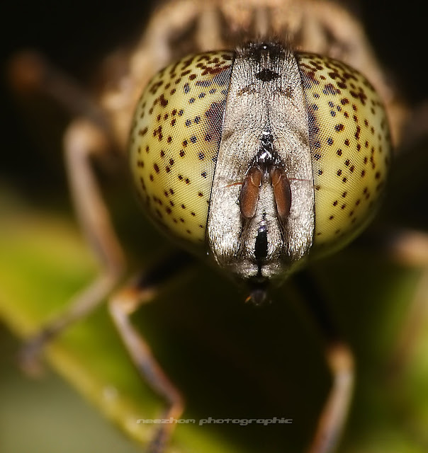 Yellow eyes with black dots HoverFly macro