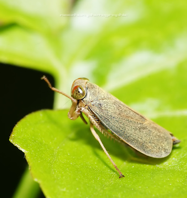 Brown Planthopper