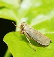 Koleksi Pilihan gambar Froghopper, Treehopper, Planthopper dan Leafhopper oleh Neezhom