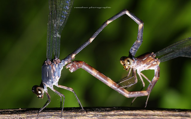 damselfly mating / make love