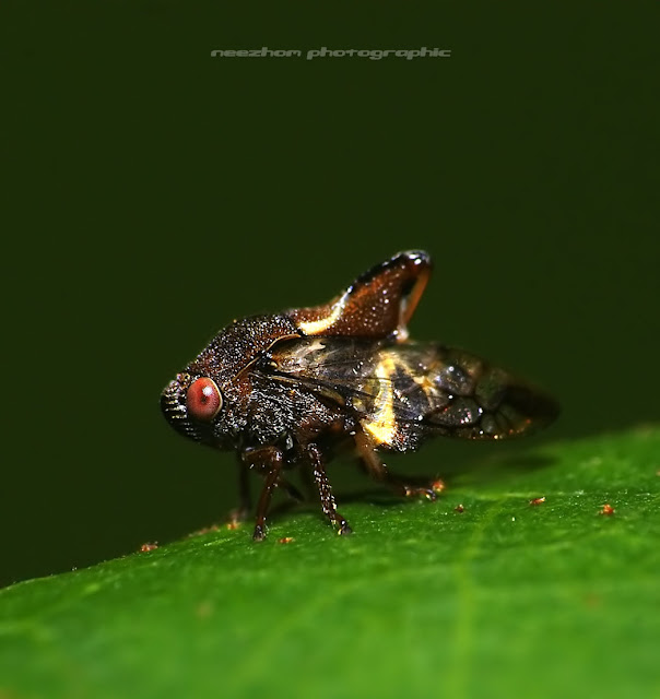 Yellow dark brown Treehopper