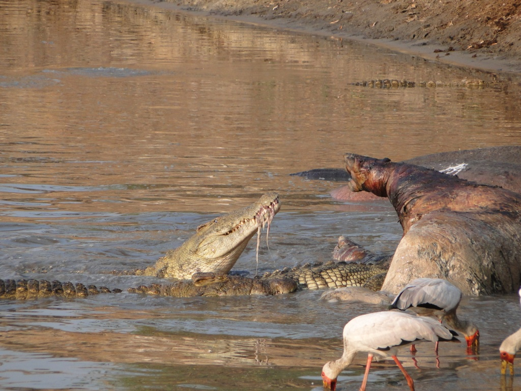 Paintball for Hippos | Nomad Tanzania