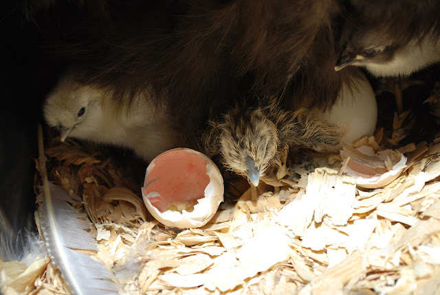 silkie chicks and mama