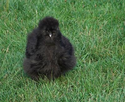 black silkie chicken