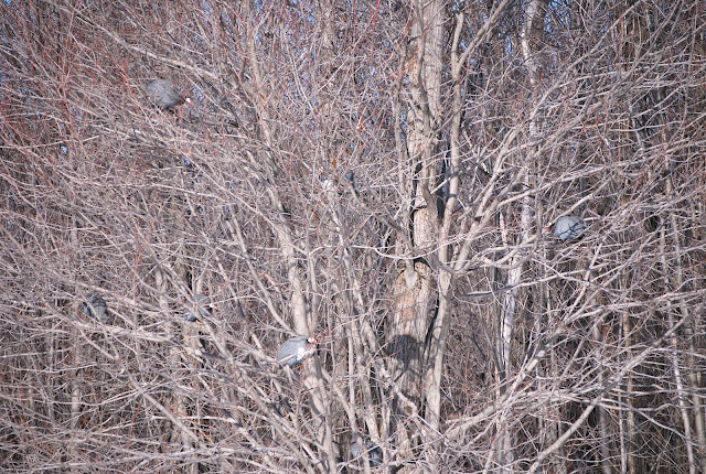 guinea camouflage