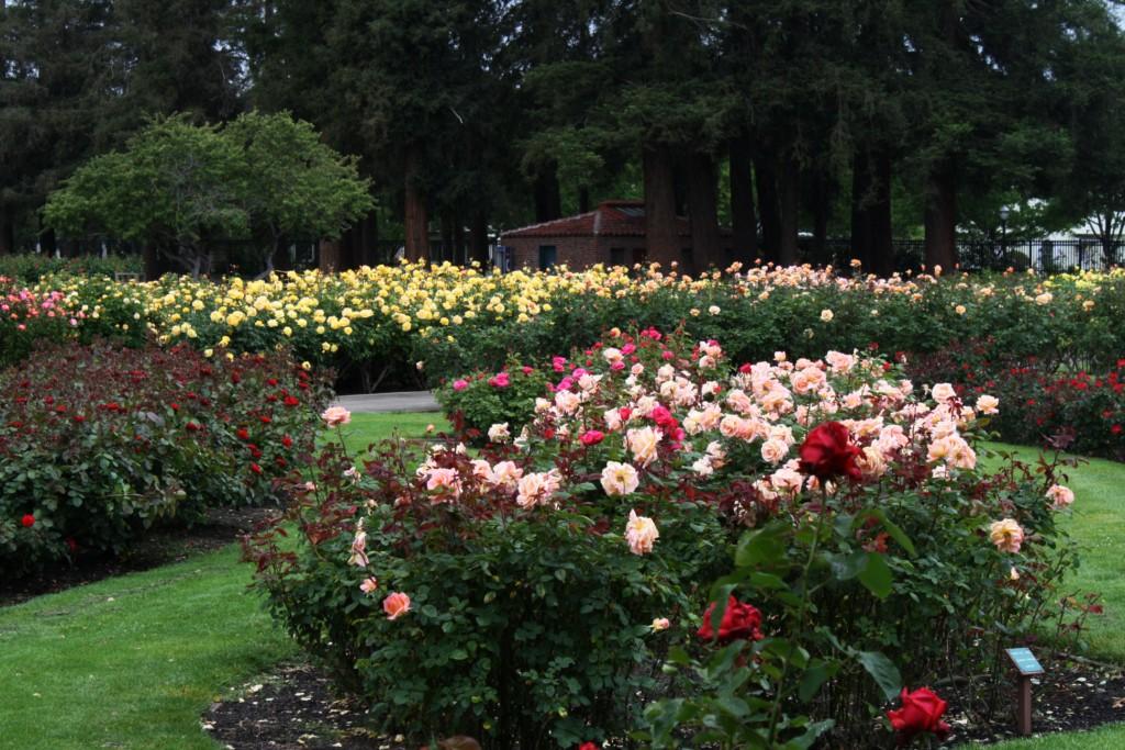 My Photo Journal San Jose Municipal Rose Garden