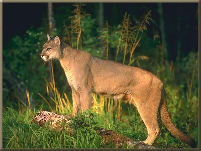 Female Cougar Vs  Alpha Male Wolf - Leo Tigris Elite