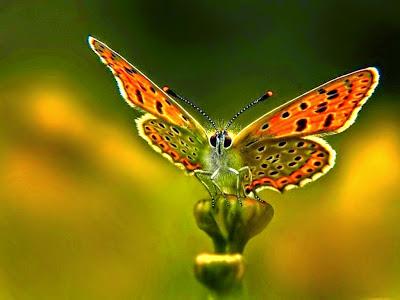 mariposa-con-las-alas-extendidas-de-color-naranja-y-puntos-negros