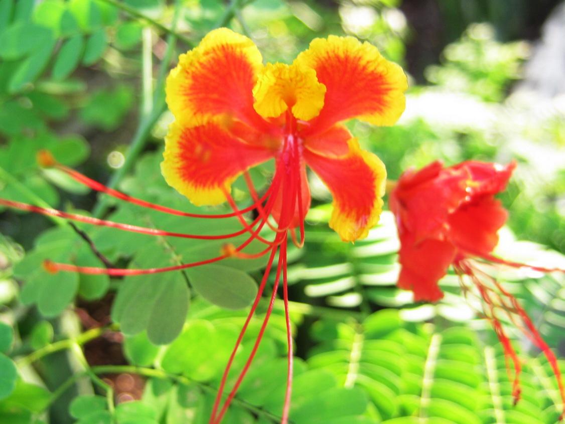 labelled diagram of pride barbados flower 2008 yamaha raptor 700 wiring peacock flowers