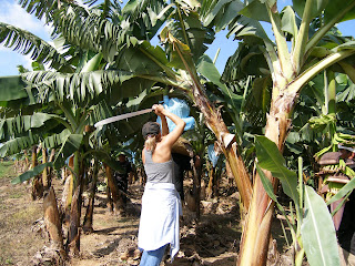 Image result for woman harvesting bananas pictures