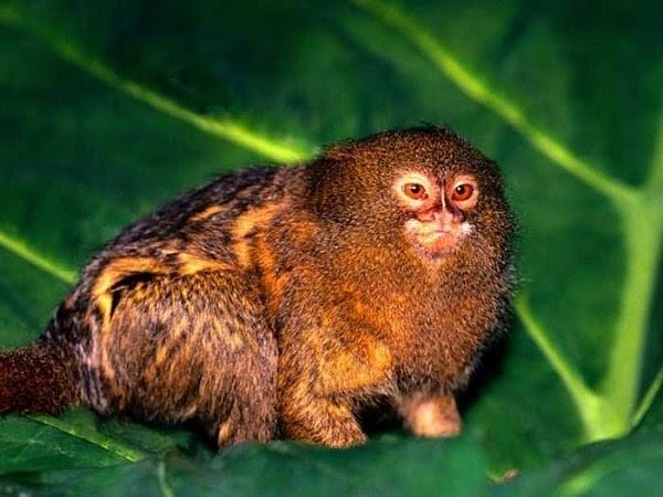 Worlds smallest monkey