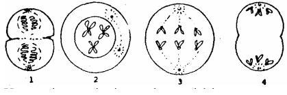√Soal Biologi Reproduksi Sel Kelas 12 | yuktheory!