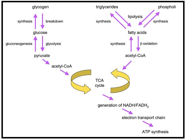 Metabolisme Lipid (Biokimia)