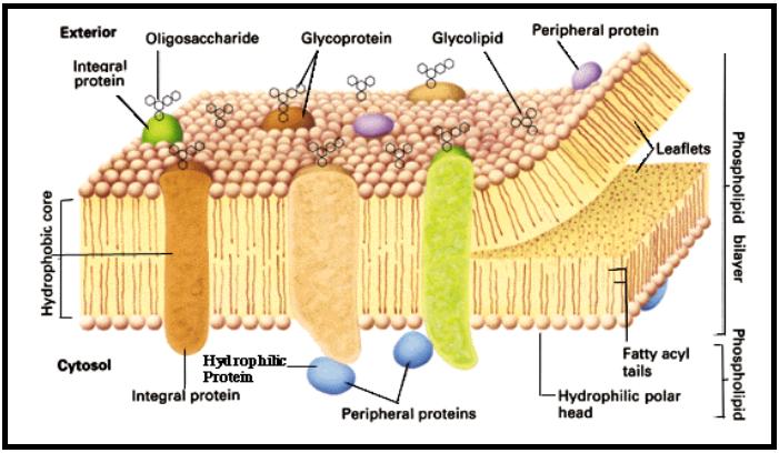 METABOLISME SEL | Materi Biologi Kelas 12