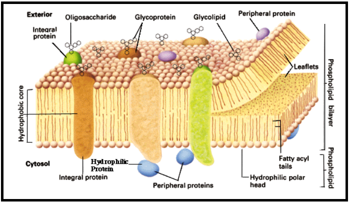 Fungsi Lemak (Lipid) Bagi Tubuh Kita