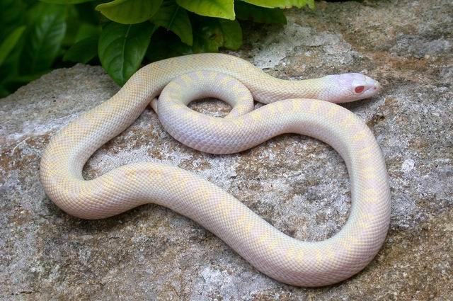 Albino Mamba Snake Images