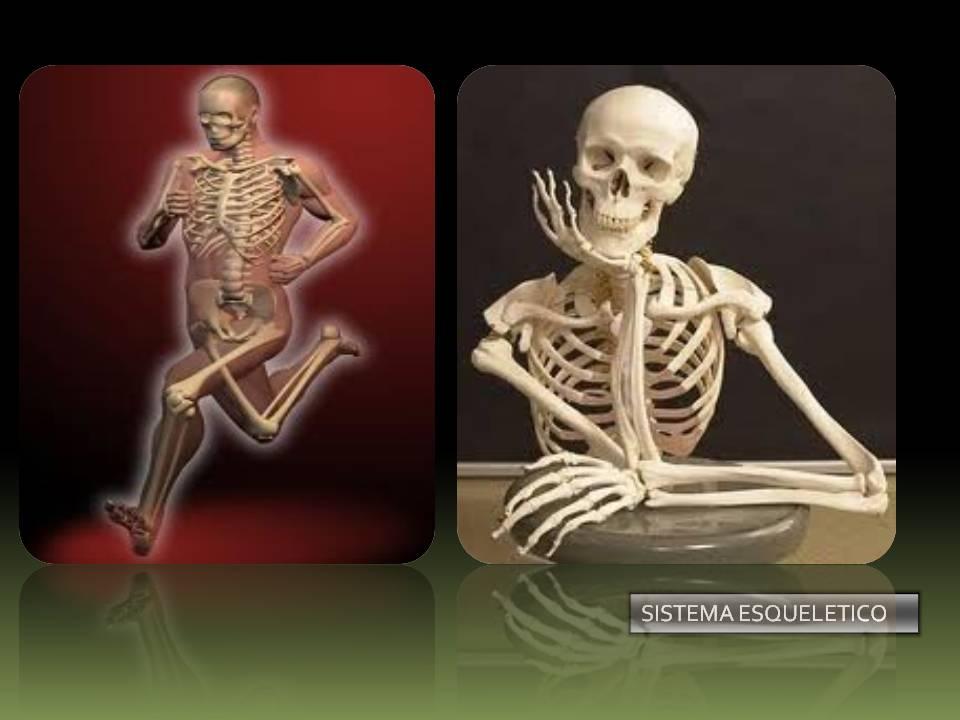 Anatomía Y Fisiología Humana Sistema Esquelético
