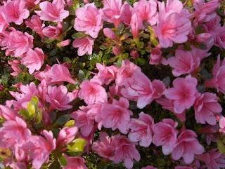 flowers pink azalea