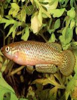 Ryby akwariowe Szczupieńczyk Playfaira