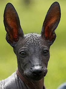 Peruvian dog, obama dog, hypoallergenic dog for US president, US president dog, peruvian hairless dog, dog for obama daughter, barack obama daughter dogs