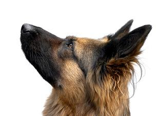 how to train your GSD, training german shepherd dog, training german shepherd dogs, How to Train Your GSD 5 Basic Commands, german shepherd training, german shepherd basic training
