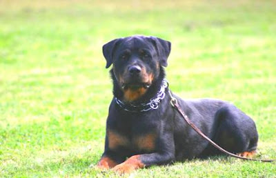 aggressive rottweilers, cool rottweiler information about rottweiler dogs, american rottweiler, american rottweilers behavior, american rottweiler aggression, american rottweilers, german rottweiler temperament, german rottweilers, rottweiler puppies, undocked rottweilers undocked rottweiler picture, rottweiler dog training