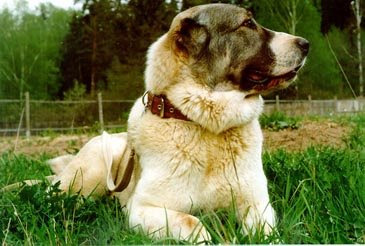 Central Asian Ovcharka dog breeds, rare dog breeds, dog breed information, dog lovers, Central Asian Ovcharka dog breed, rare dog breed information, Central Asian Ovcharka dog