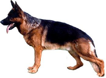 structure german shepherd dog anatomy, GSD standard of GSD structure, German shepherd dog standard of german shepherd dog measurements, GSD anatomy of german shepherd dog anatomy, about german shepherd dog information, german shepherd dog info