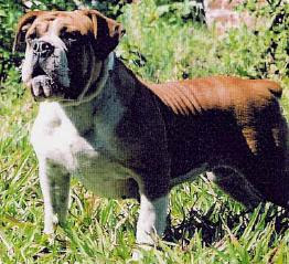 Rare Dog Breed Information, Campeiro Bulldog, Brazilian Bulldog Breed, Brasilian Bulldog Breed, ancient dog breed, rare dog breed, Brazilian Bulldogs, Brazilian Bulldog pictures, dog pictures, dog pics, dog photos, dog breed pictures of dogs, dog lovers sites, dog blogs, rare dog breed, dog pictures, dog pics, dog photos, dog breed pictures of dogs, dog lovers sites, dog blogs
