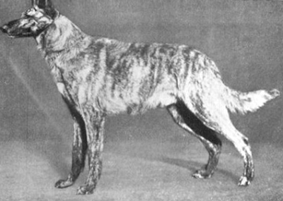 brindle gsd, colors and patterns inn german shepherd dogs