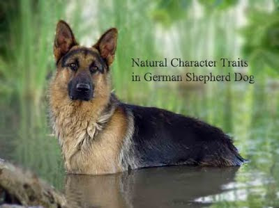 character traits in german shepherd dog