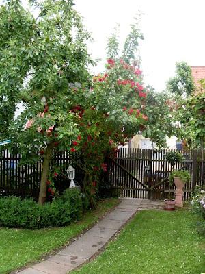 Gartenarbeit Ideen Kletterrosen Man muss nicht in einer Rosengrtnerei kaufen