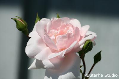 Sarin puutarhat: Hehkuvat köynnösruusut