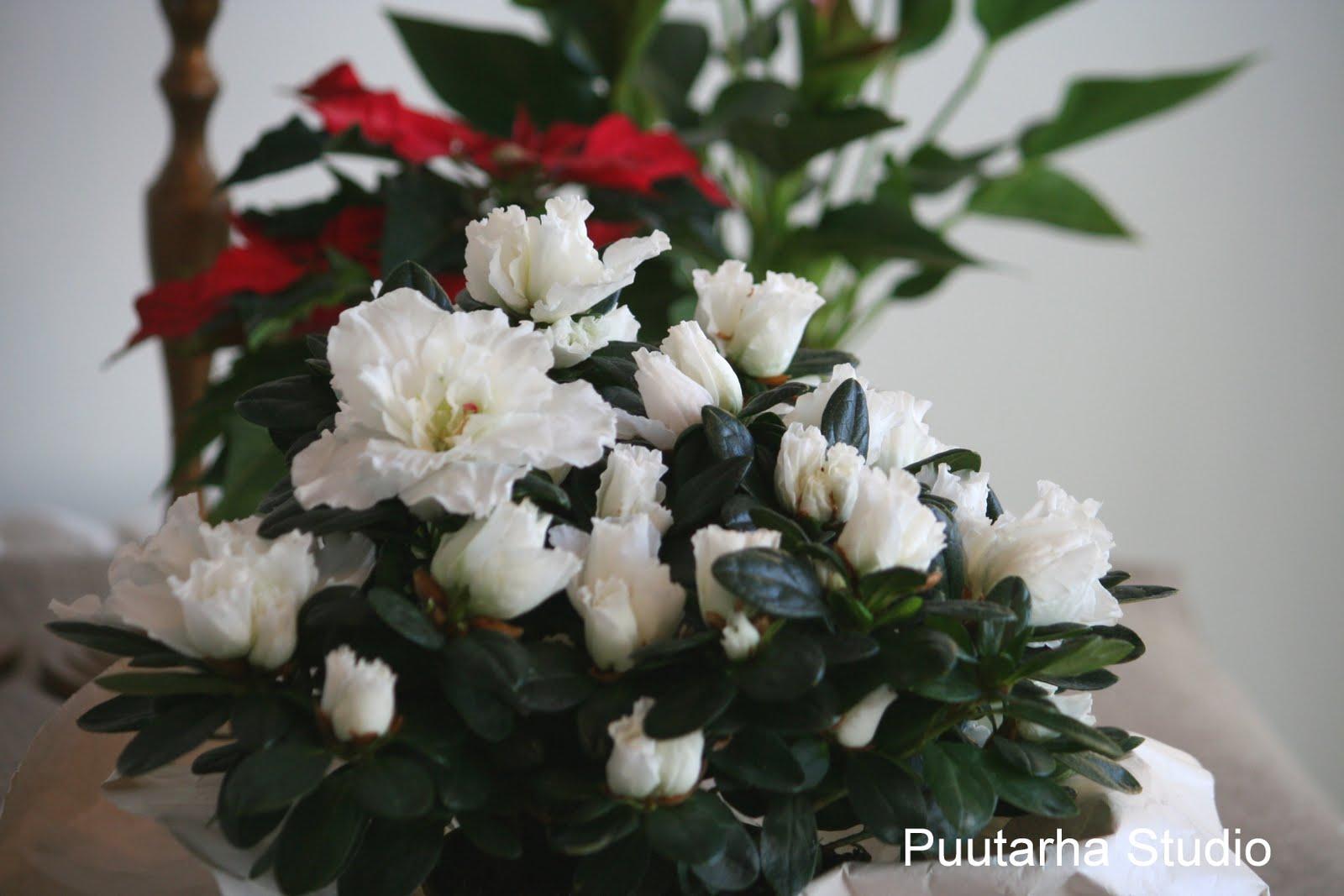Pieni Valkoinen Kukka