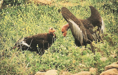 Mating dance of California condors
