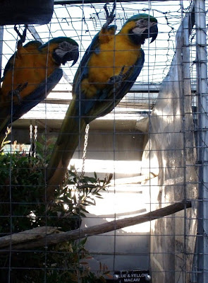 Blue & yellow Macaws TeTemuka B&B Kokstad KwaZulu-Natal South Africa