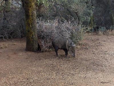 Javelina Yarnell Arizona