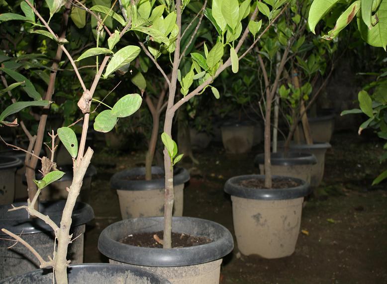 Mangga LansatilaBibit Pohon Leci