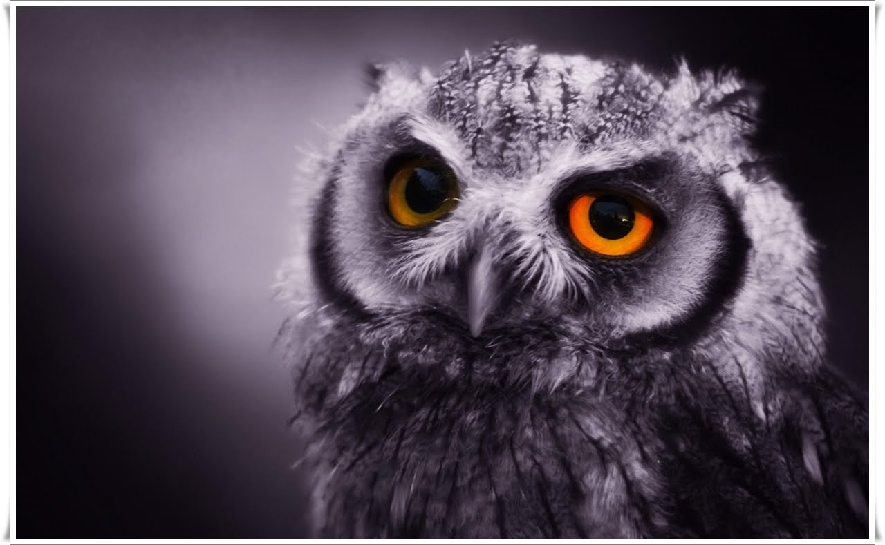 Qq Wallpapers Owl Face Wallpapers