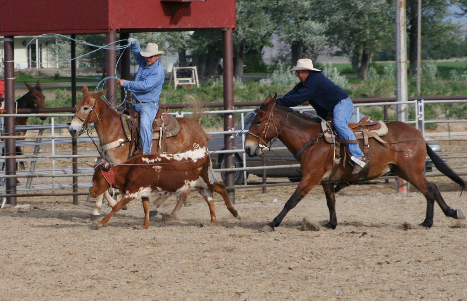 Pairadice Mules Jackpot Team Roping