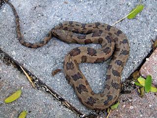 Terra Mirabilis: A backyard snake